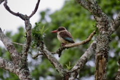 Brownhooded Kingfisher