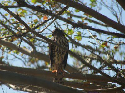 Juvenile Sparrowhawk (4)